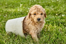 Puppy Mini Goldendoodle Cute