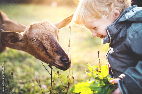 Fotografía  A little toddler boy feeding a goat outdoors on a meadow at sunset