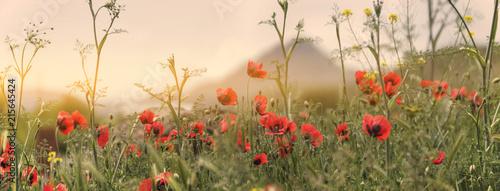 armenia poppy field