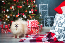 A Small Dog Of The Spitz For The New Year On The Background Of A Decorated Christmas Tree. Spitz Close-up On Christmas Among Gifts