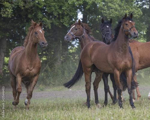 Foto op Canvas Paarden Thoroughbreds enjoying the Summer sunshine