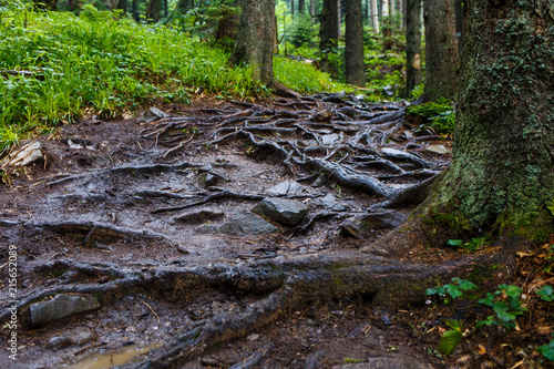 Fotografie, Obraz  Muddy mountains trail with crooked roots after the rain