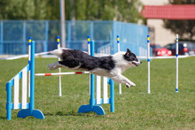 Border Collie Jumping Over Hur...