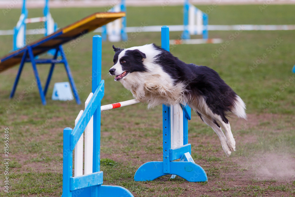 Fototapeta Border collie jumping over hurdle in agility competition