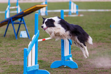 Border Collie Jumping Over Hurdle In Agility Competition