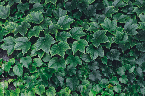 Garden Poster Spring Horizontal wall of leaves of wild grapes.