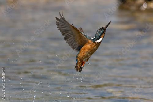Valokuva  Martin pescatore in volo sul fiume (Alcedo atthis)