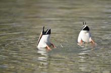 Close-up Of Two Mallard Ducks (Anas Platyrhynchos) With Their Heads Underwater, On Lake Grundlsee In Winter, Styria, Austria