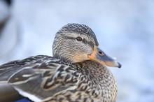 Close-up Portrait Of A Mallard Duck (Anas Platyrhynchos), Lake Grundlsee In Winter, Styria, Austria