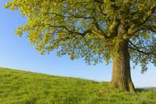 Close-up Of Old Oak Tree On Hi...