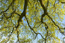 Low Angle View Of Branches Of Oak Tree, Odenwald, Hesse, Germany
