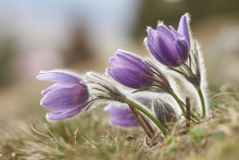 Close-up Of A Common Pasque Flower (Pulsatilla Vulgaris) Flowering In Spring, Bavaria, Germany