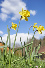 Daffodil (Narcissus) Flowers On Meadow In Spring, Styria, Austria