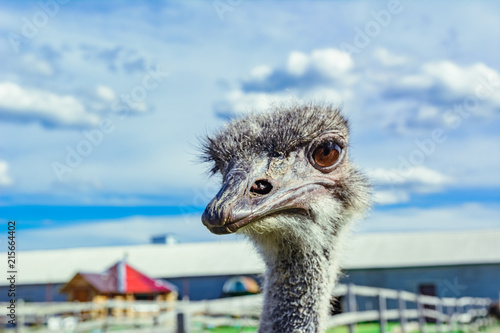 Staande foto Struisvogel Ostrich on a farm