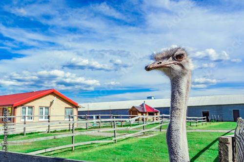 Fotobehang Struisvogel Ostrich on a farm