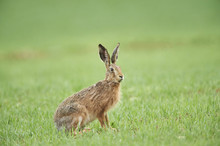 Close-up Of European Brown Hare (Lepus Europaeus) In Field In Spring, Upper Palatinate, Bavaria, Germany