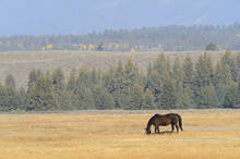 Horse Grazing In Field, Grand ...