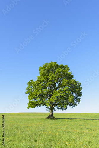 Oak Tree in Spring, Grebenhain, Vogelsberg District, Hesse, Germany