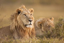 African Lion And Lioness Lying In Grass, Okavango Delta, Africa