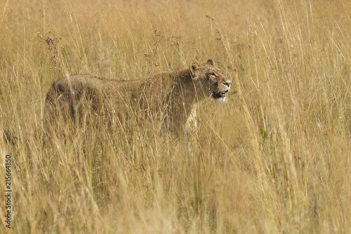 African lioness (Panthera leo) walking through tall grass at the Okavango Delta in Botswana, Africa