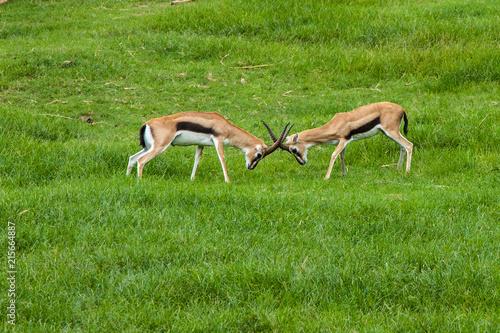 Foto op Plexiglas Antilope antelope