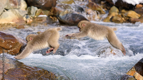In de dag Aap Snow Monkey Jumping Sequence