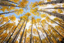 Aspen Tree Canopy, Awesome Autumn Scene.