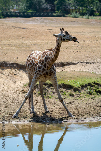 Photo  Giraffe animal drinking water from river in safari park with reflection in water