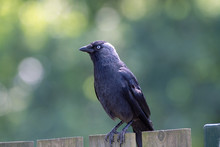 Adult Western Jackdaw From Crow Family Sitting On Wooden Fence C
