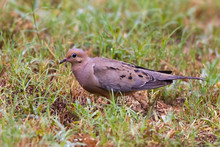 Mourning Dove In A Field Of Grass