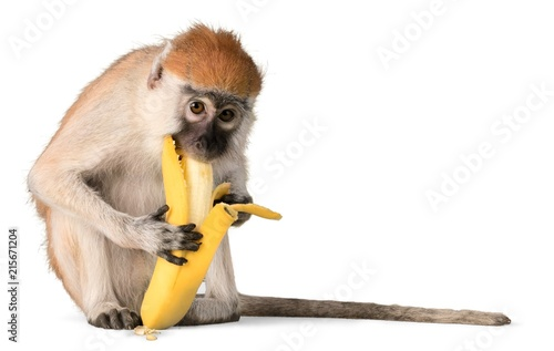 Photo sur Toile Singe Monkey Eating Banana - Isolated