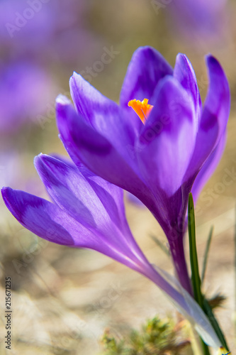 Poster Krokussen Blossom of crocuses at spring in the mountains