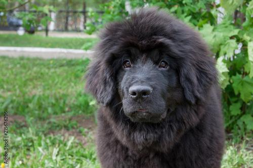 Stampa su Tela Cute newfoundland puppy is sitting on a green grass.