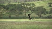 Long Tailed Widow Bird Flying