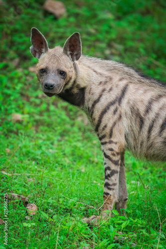 Foto op Plexiglas Hyena A striped Hyena at Jhalana Forest Reserve