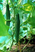 Cucumber Vines Growing Vertically In The Greenhouse