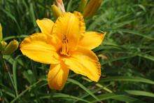 Vibrant Yellow Daylily Blossom Closeup