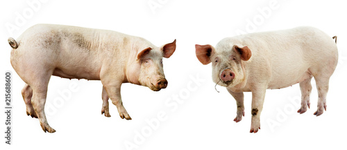 set of pig. farm animal isolated on white