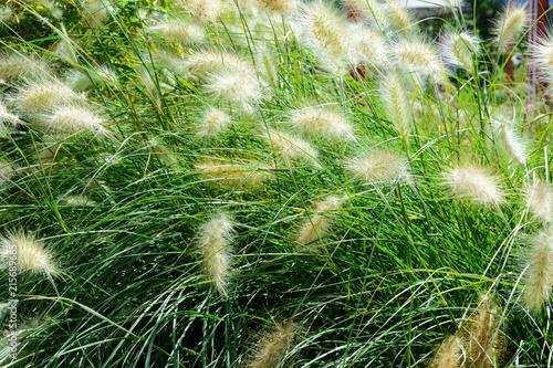 Obraz na plátně plant background sedge grass with white fluffy ears