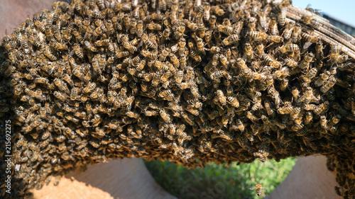 Obraz na płótnie Rój pszczół