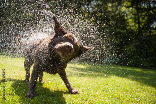 fototapeta na lodówkę Brown labrador shake off the water create a huge amount of small drops