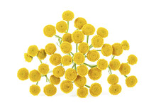 Medicinal Plant Tansy Isolated...