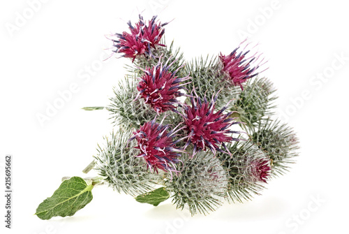 Prickly heads of burdock flowers on white background Fototapete