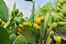 Sabres, Fruits Of Opuntia Ficus-indica (species Of Cactus) , Also Called As Indian Fig Opuntia, Barbary Fig, Cactus Pear, Spineless Cactus, And Prickly Pear.