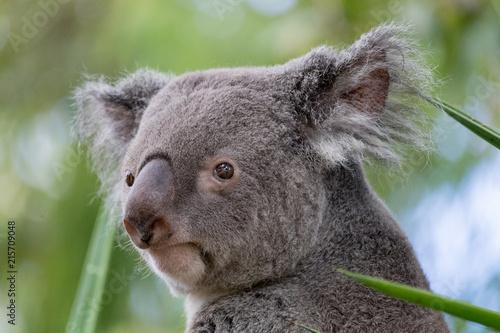 Staande foto Koala Koala 2