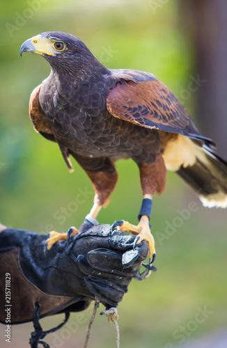 Harris's hawk bird of prey on hand Wall mural