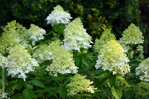 Poster de jardin Hortensia Luxurious hydrangea paniculata in the garden close-up.
