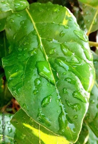 Fotografija  Foglia verde dopo la pioggia