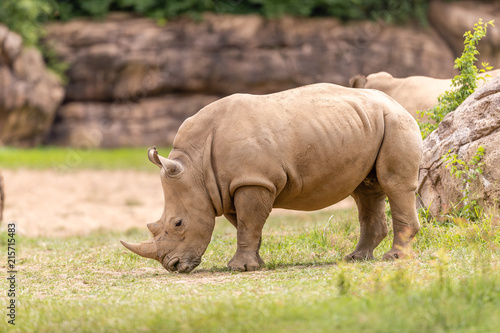 Fotografie, Obraz  Rhino