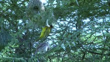 A Male Weaver Bird Weaves A Nest While The Female Is Watching